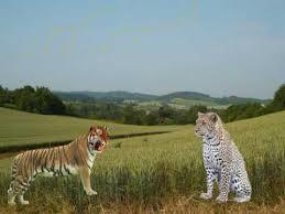 Tigrisek és a gepárdok-futóverseny Ausztriában